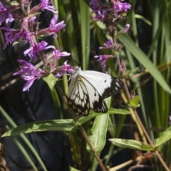 Belenois java (Caper White) at ANBG - 6 Mar 2020 by Illilanga