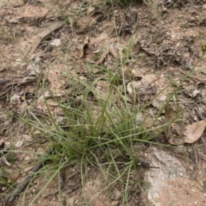 Fimbristylis dichotoma at Michelago, NSW - 23 Feb 2020