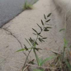 Eragrostis cilianensis (Stinkgrass) at Conder, ACT - 7 Mar 2020 by michaelb