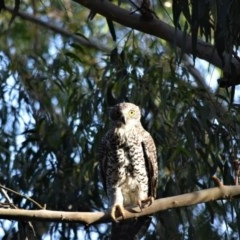 Ninox strenua (Powerful Owl) at Bowral, NSW - 18 Mar 2020 by pdmantis