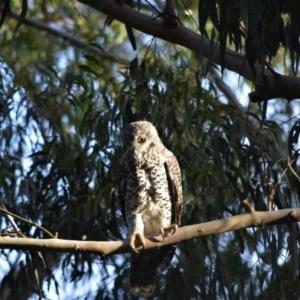 Ninox strenua at Bowral, NSW - 18 Mar 2020