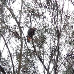 Calyptorhynchus lathami (Glossy Black-cockatoo) at Ben Boyd National Park - 5 Mar 2020 by Allan