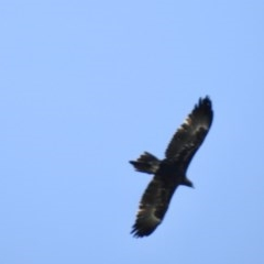 Aquila audax (Wedge-tailed Eagle) at Wingecarribee Local Government Area - 19 Mar 2020 by GlossyGal