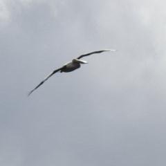 Pelecanus conspicillatus (Australian Pelican) at Burradoo - 12 Mar 2020 by GlossyGal