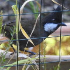 Psophodes olivaceus (Eastern Whipbird) at Wingecarribee Local Government Area - 19 Mar 2020 by GlossyGal