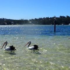 Pelecanus conspicillatus (Australian Pelican) at Pambula - 12 Mar 2020 by LizAllen