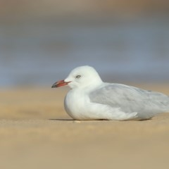 Chroicocephalus novaehollandiae (Silver Gull) at Pambula - 19 Mar 2020 by Leo