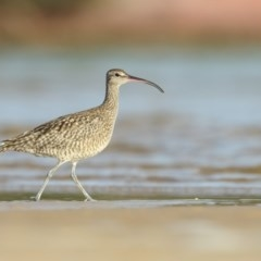 Numenius phaeopus (Whimbrel) at Pambula - 19 Mar 2020 by Leo
