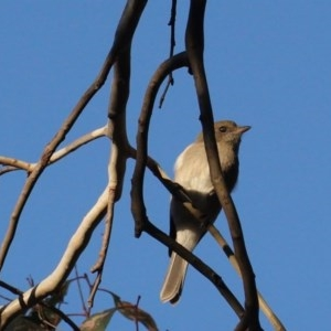 Pachycephala pectoralis at Red Hill Nature Reserve - 19 Mar 2020