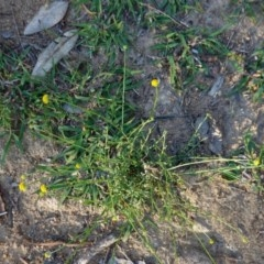 Calotis lappulacea (Yellow burr daisy) at Red Hill Nature Reserve - 19 Mar 2020 by JackyF