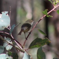 Acanthiza pusilla (Brown Thornbill) at Red Hill Nature Reserve - 17 Mar 2020 by LisaH