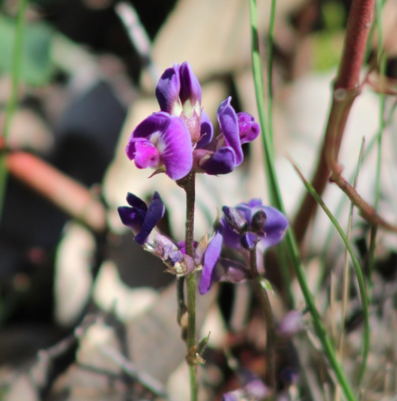 Glycine tabacina at Red Hill Nature Reserve - 17 Mar 2020
