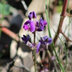 Glycine tabacina (Variable Glycine) at Red Hill Nature Reserve - 17 Mar 2020 by LisaH