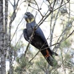 Calyptorhynchus lathami (Glossy Black-Cockatoo) at Wingello - 19 Mar 2020 by Aussiegall