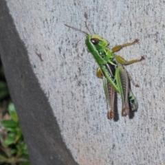 Kosciuscola cognatus (A grasshopper) at Kosciuszko National Park - 11 Mar 2020 by Harrisi