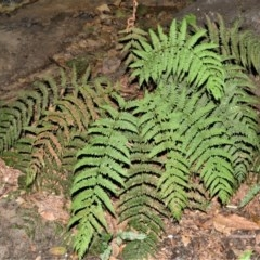 Leptopteris fraseri (Crepe Fern) at - 18 Mar 2020 by plants
