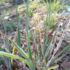 Dianella sp. aff. longifolia (Benambra) (Pale Flax Lily, Blue Flax Lily) at City Renewal Authority Area - 19 Mar 2020 by ElizaL