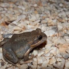 Limnodynastes dumerilii (Eastern Banjo Frog) at - 19 Mar 2020 by Boobook38