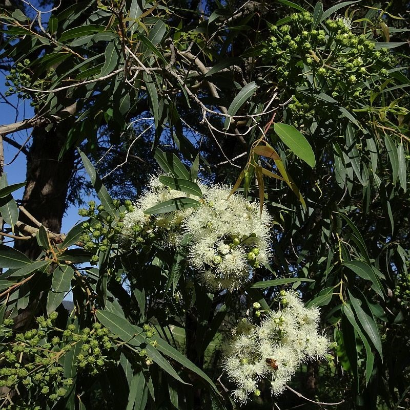 Angophora floribunda at Brogo, NSW - 20 Mar 2020