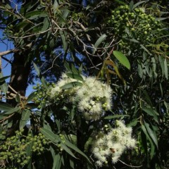 Angophora floribunda (Rough-barked Apple) at Brogo, NSW - 20 Mar 2020 by JackieMiles