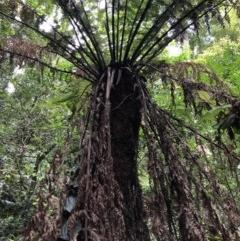 Dicksonia antarctica (Soft Treefern) at Wattamolla, NSW - 17 Mar 2020 by WattaWanderer