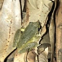 Litoria lesueuri (Lesueur's Tree Frog) at Wattamolla, NSW - 20 Mar 2020 by WattaWanderer