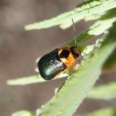 Aporocera (Aporocera) consors (A leaf beetle) at Mount Painter - 19 Mar 2020 by CathB