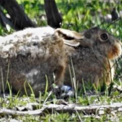 Lepus capensis (Brown Hare) at Mulligans Flat - 18 Mar 2020 by JohnBundock