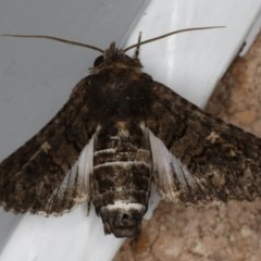 Pataeta carbo (Eutelid Moth) at Mollymook Beach, NSW - 19 Mar 2020 by jbromilow50
