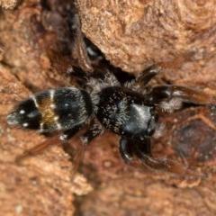 Apricia jovialis (Jovial jumping spider) at Bruce, ACT - 2 Nov 2017 by Bron