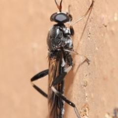 Exaireta spinigera (Garden Soldier Fly) at Evatt, ACT - 19 Mar 2020 by TimL