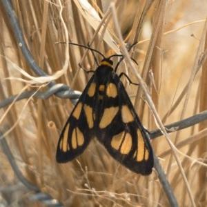 Amata (genus) at Michelago, NSW - 3 Feb 2020