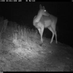 Dama dama (Fallow Deer) at Illilanga & Baroona - 2 Jan 2020 by Illilanga