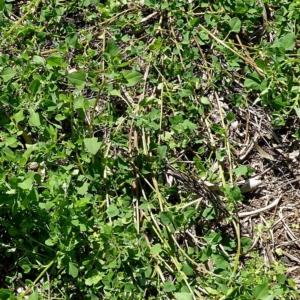 Einadia trigonos subsp. trigonos at Brogo, NSW - 15 Mar 2020