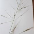 Austrostipa bigeniculata at Griffith, ACT - 21 Mar 2020