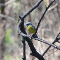 Eopsaltria australis (Eastern Yellow Robin) at Surf Beach, NSW - 20 Mar 2020 by LyndalT