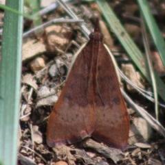 Uresiphita ornithopteralis (Tree Lucerne Moth) at Hughes Grassy Woodland - 21 Mar 2020 by LisaH