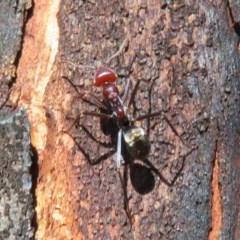 Iridomyrmex purpureus (Meat Ant) at Namadgi National Park - 20 Mar 2020 by Christine