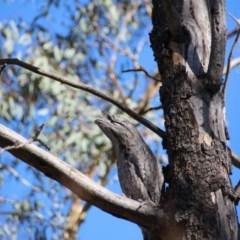 Podargus strigoides (Tawny Frogmouth) at Mount Majura - 19 Mar 2020 by petersan