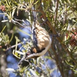 Acanthorhynchus tenuirostris at Michelago, NSW - 1 Sep 2019