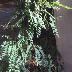 Robinia pseudoacacia (False Acacia or Black Locust) at Parkes, ACT - 19 Mar 2020 by WalterEgo