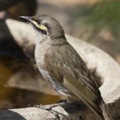 Caligavis chrysops at Michelago, NSW - 12 Dec 2019
