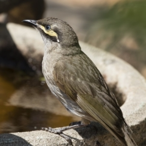 Caligavis chrysops at Illilanga & Baroona - 12 Dec 2019
