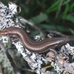 Pseudemoia entrecasteauxii (Woodland Tussock-skink) at Kosciuszko National Park - 11 Mar 2020 by Harrisi