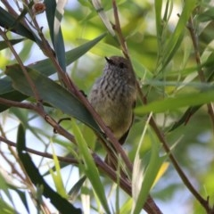 Acanthiza pusilla (Brown Thornbill) at Acton, ACT - 19 Mar 2020 by RodDeb
