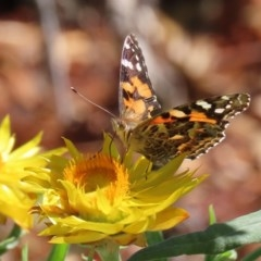 Vanessa kershawi (Australian Painted Lady) at ANBG - 20 Mar 2020 by RodDeb
