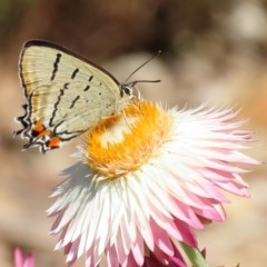 Jalmenus evagoras (Imperial Hairstreak) at ANBG - 20 Mar 2020 by RodDeb
