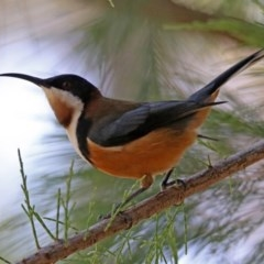 Acanthorhynchus tenuirostris (Eastern Spinebill) at ANBG - 20 Mar 2020 by RodDeb