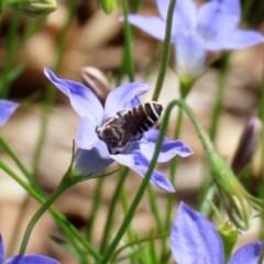 Megachile (Eutricharaea) serricauda at ANBG - 20 Mar 2020