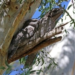 Podargus strigoides (Tawny Frogmouth) at ANBG - 20 Mar 2020 by RodDeb